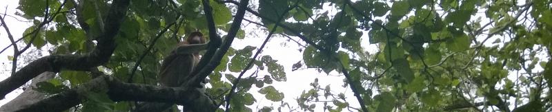 Dar viena pastebėta nuosotoji bezdžionė